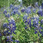 Blue Bonnets in bloom